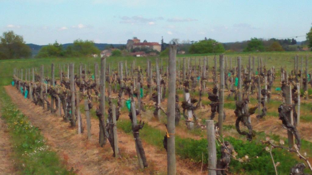Vignoble de Saint-Mont